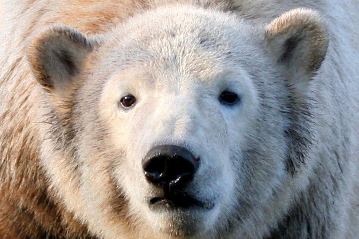 Eisbär Knut: Die traurige Geschichte des Zoobesucher-Lieblings
