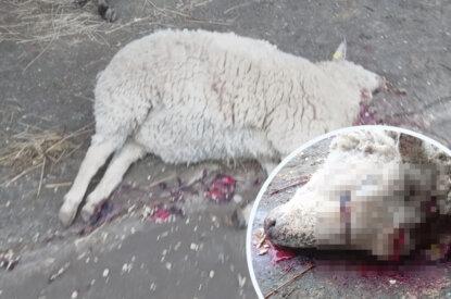 Totes Schaf mit blutigem Kopf