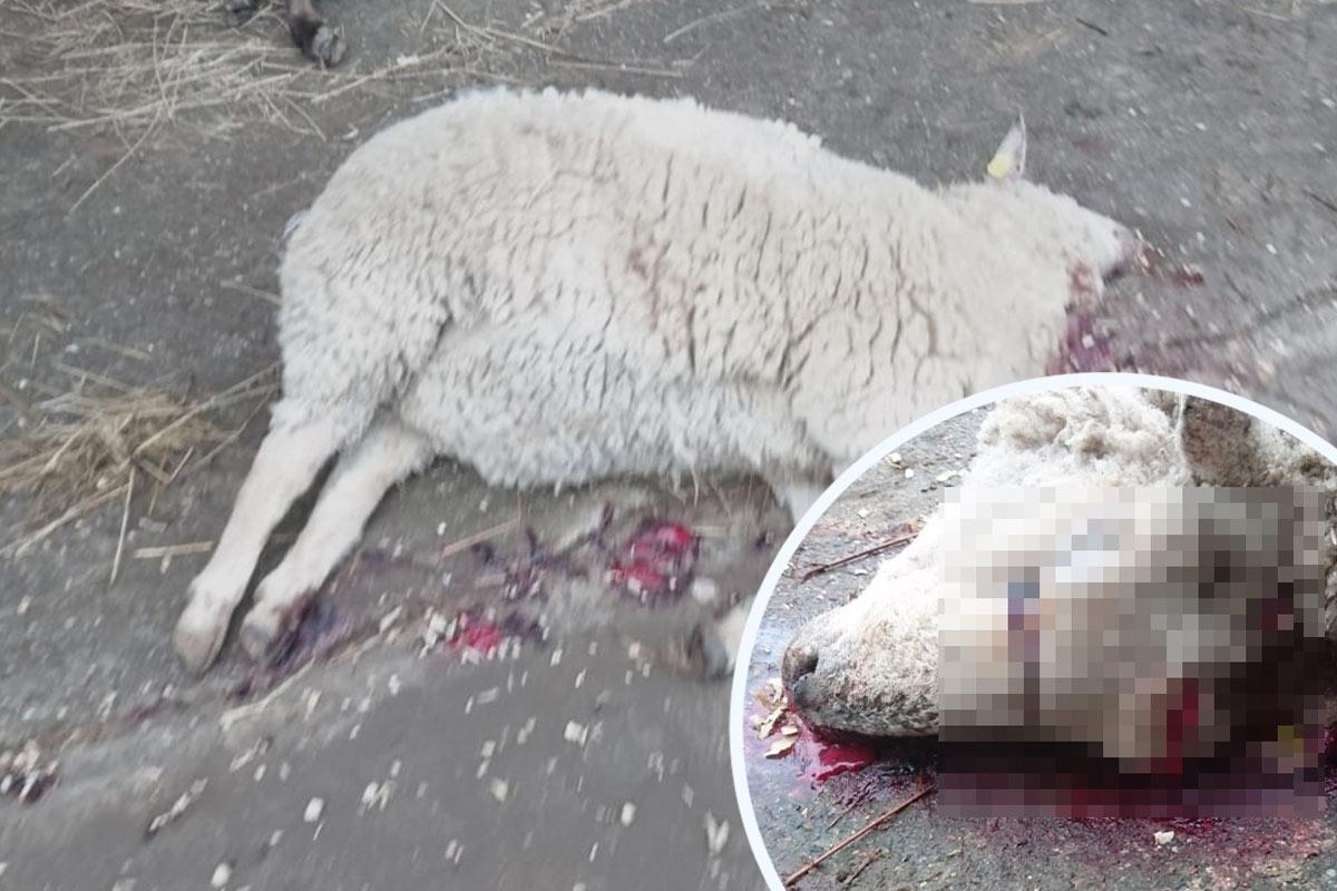 Illegale Tötung: Züchter soll krankes Schaf erschlagen haben