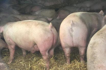 schweine im stall mit abgeschnittenem ringelschwanz