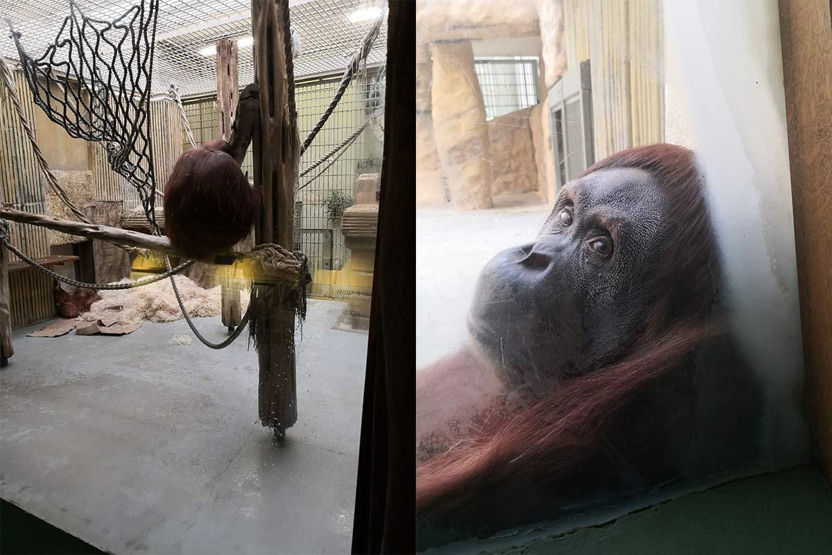 Orang Utan Dresdner Zoo