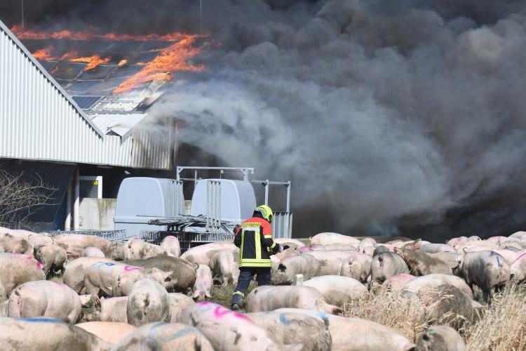 Rund 50.000 Schweine bei Stallbrand in Alt Tellin gestorben