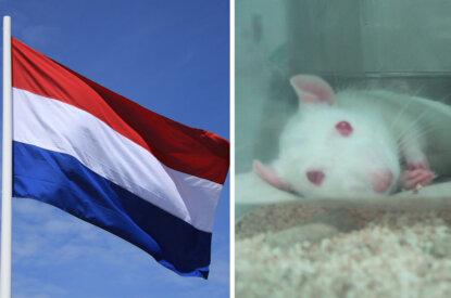 Collage Niederlande Flagge und Tierversuchsmaus