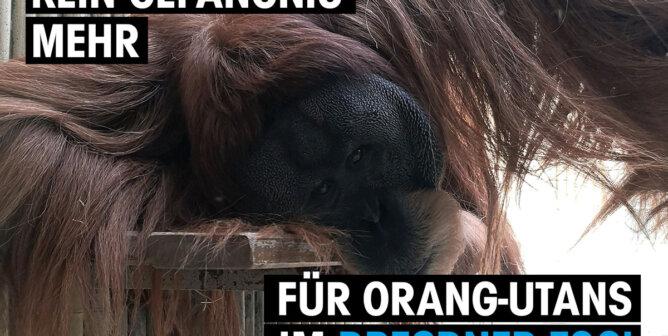 orang-utan zoo dresden