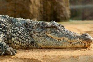 Krokodil sieht man von der Seite