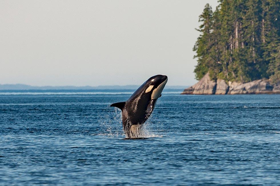 Der Orca – 10 faszinierende Fakten über Schwertwale