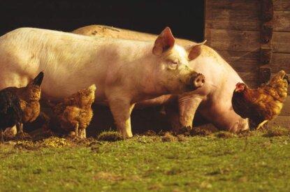 Schweine und Huehner