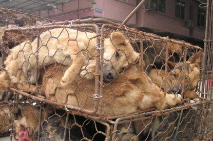 Hunde in Käfigen für Pelze