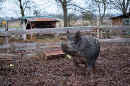 Schwein auf einem Lebenshof
