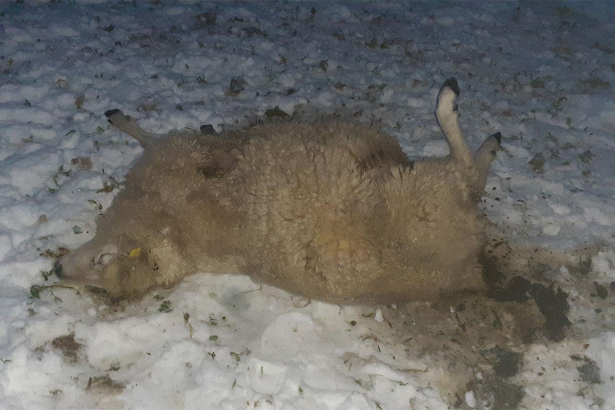 Totes Schaf im Schnee
