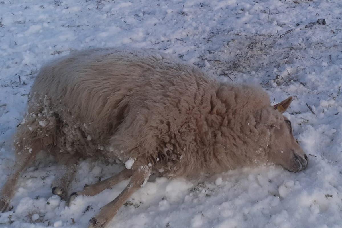 Dummerstorf: Tote und vernachlässigte Schafe bei CDU-Gemeindevertreter