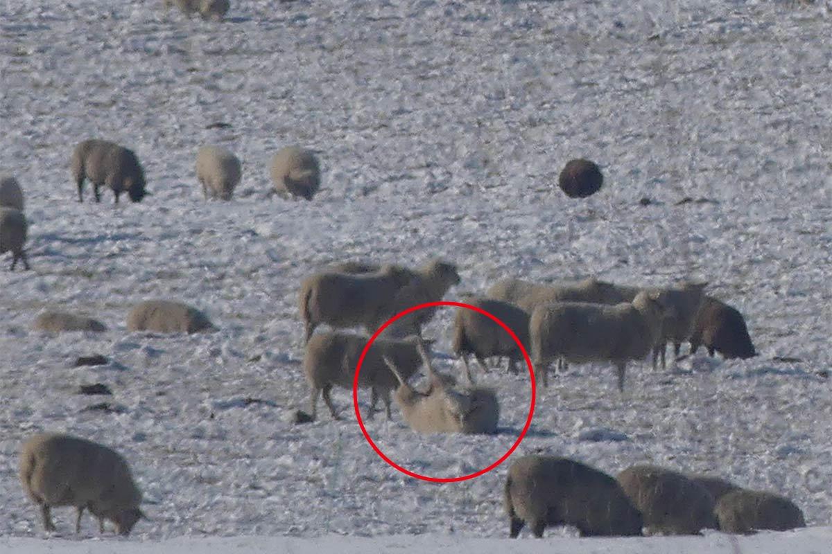 Schafsherde im Schnee