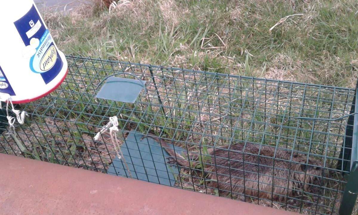 nutria gefangen im käfig