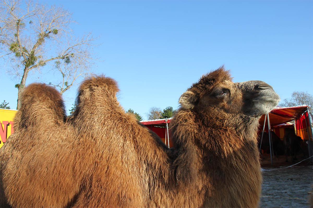Zirkus will Kamel für 3.000 Euro im Internet verkaufen