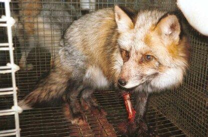 Verletzter Fuchs in Käfig