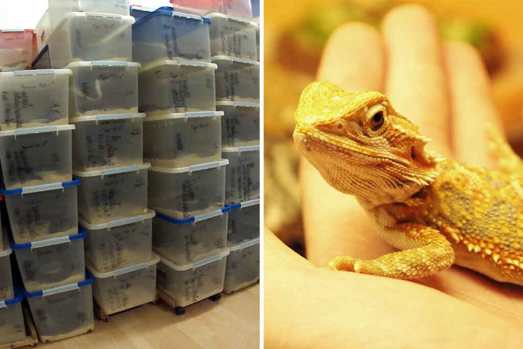 Collage Reptilienhandel Bartagame