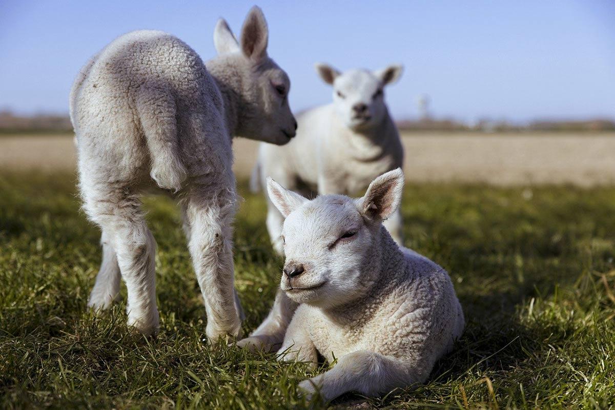 Tierbabys: Ist es unmoralisch, Lämmer und Kälber zu essen?
