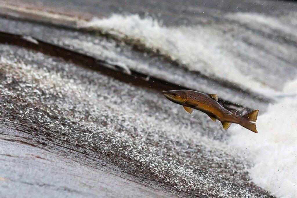 Lachs springt aus dem Wasser