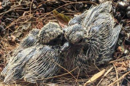 zwei tauben küken in einem nest