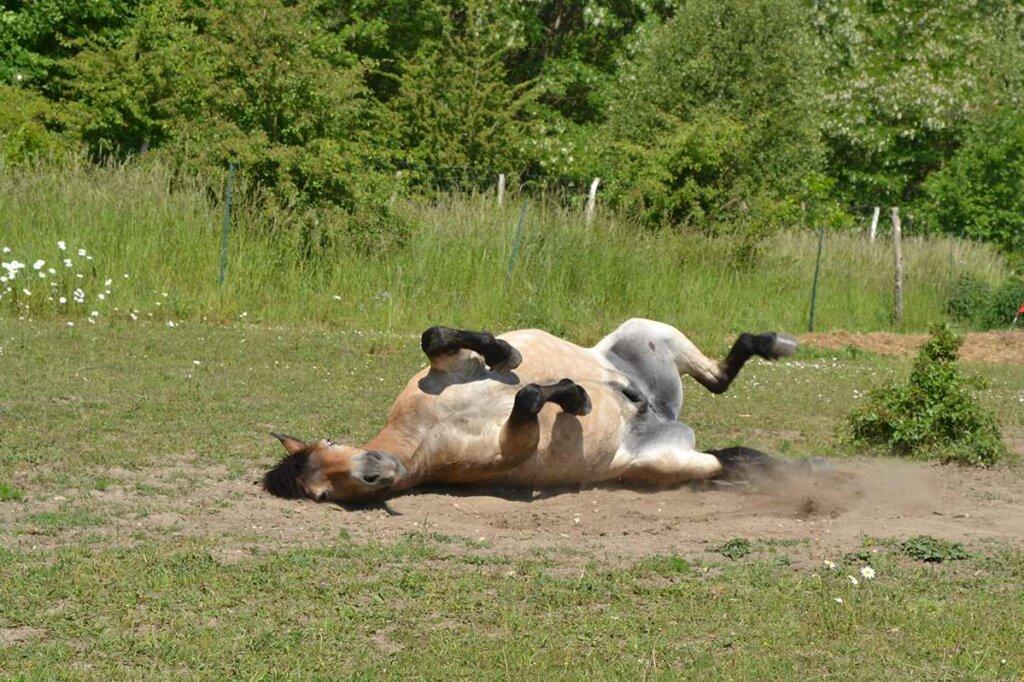 pferd wälzt sich auf der wiese