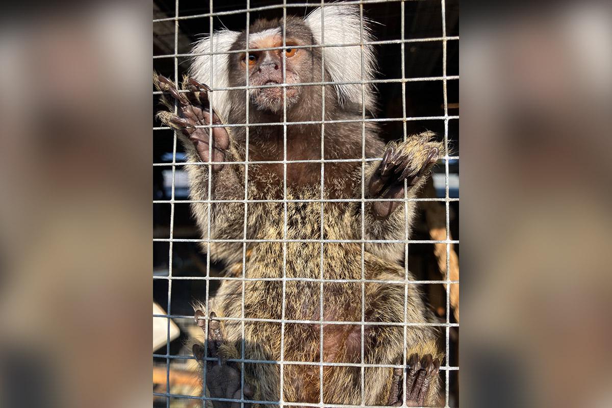 PETA deckt illegalen Handel mit Affenbabys auf