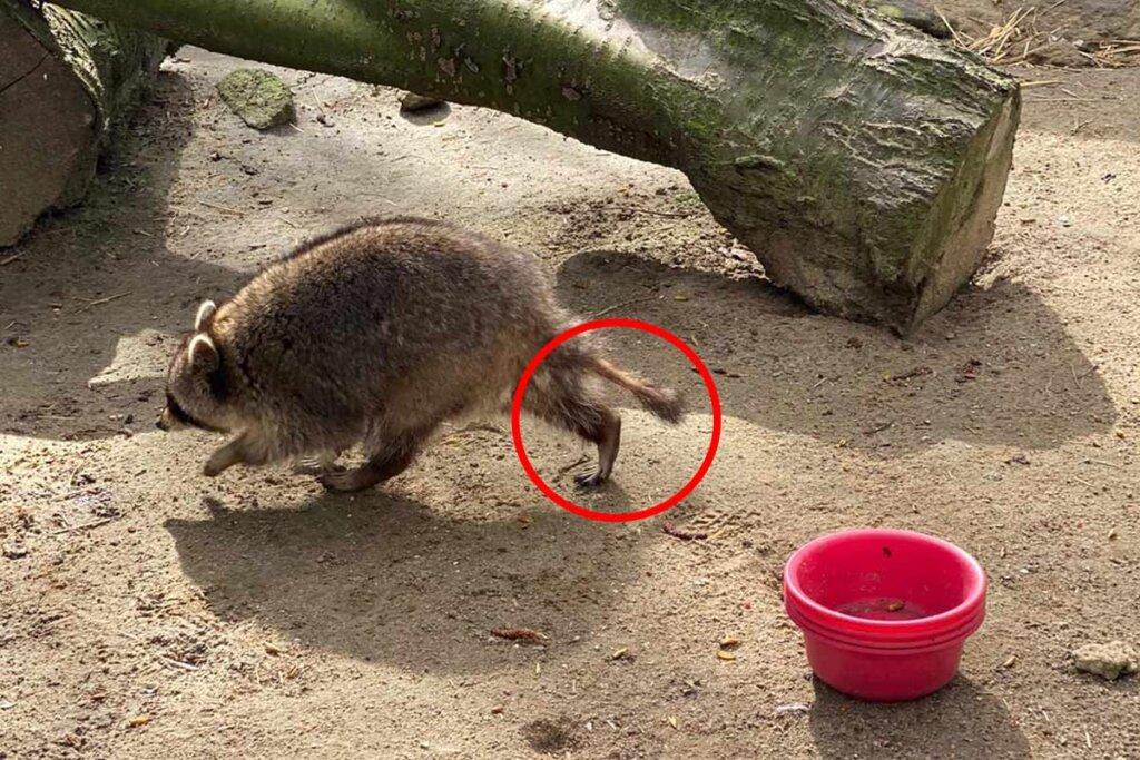 Waschbär-Dame mit kahlen Stellen im Tierpark