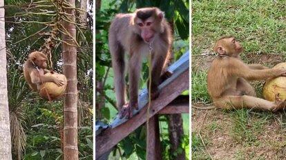 Affen die Kokosnüsse sammeln