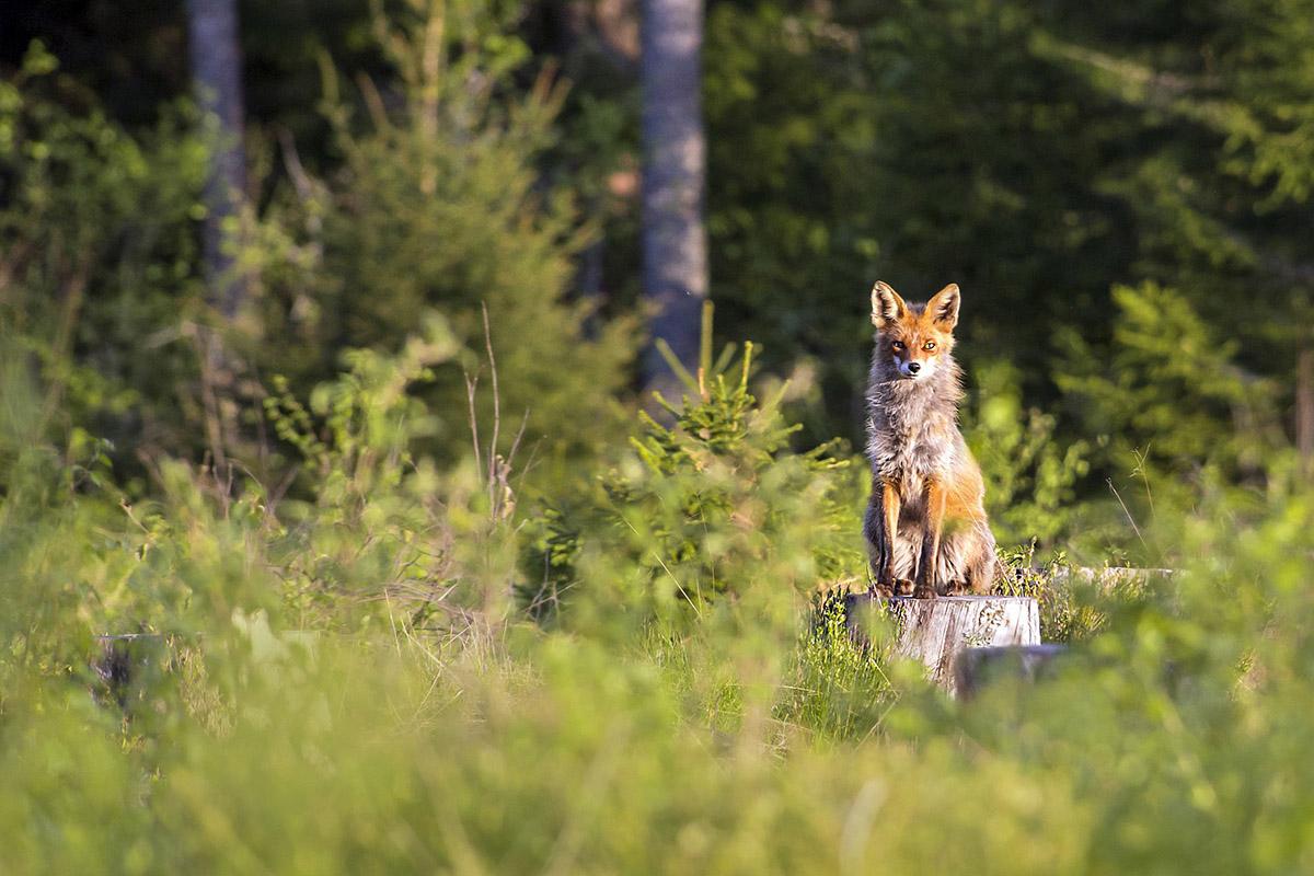 Tiere im Wald: Diese Wildtiere leben in deutschen Wäldern