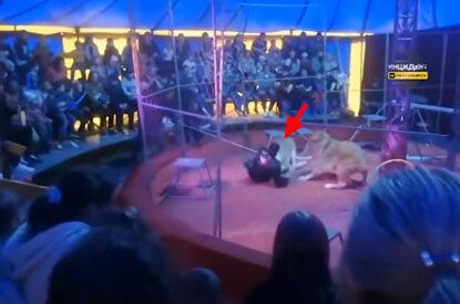 Löwin attackiert Dompteur in Zirkus