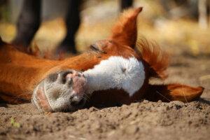 Fohlen liegt auf dem Boden