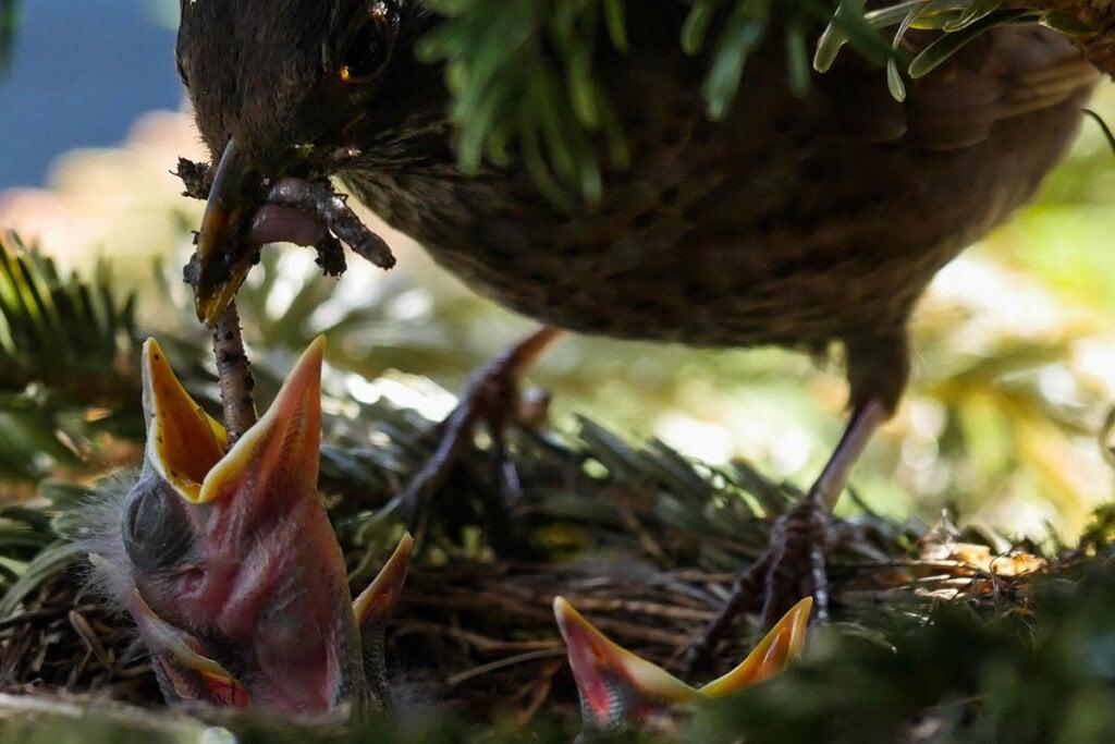 vogel fuettert kueken mit wurm