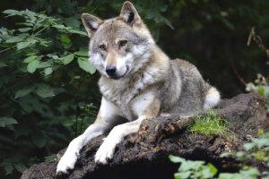 Wolf liegt auf Felsen
