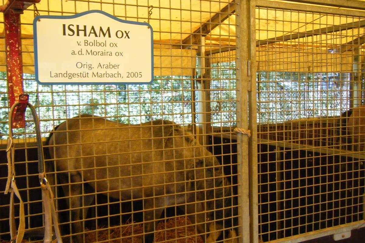 Pferd Isham in seiner Box im Circus Krone