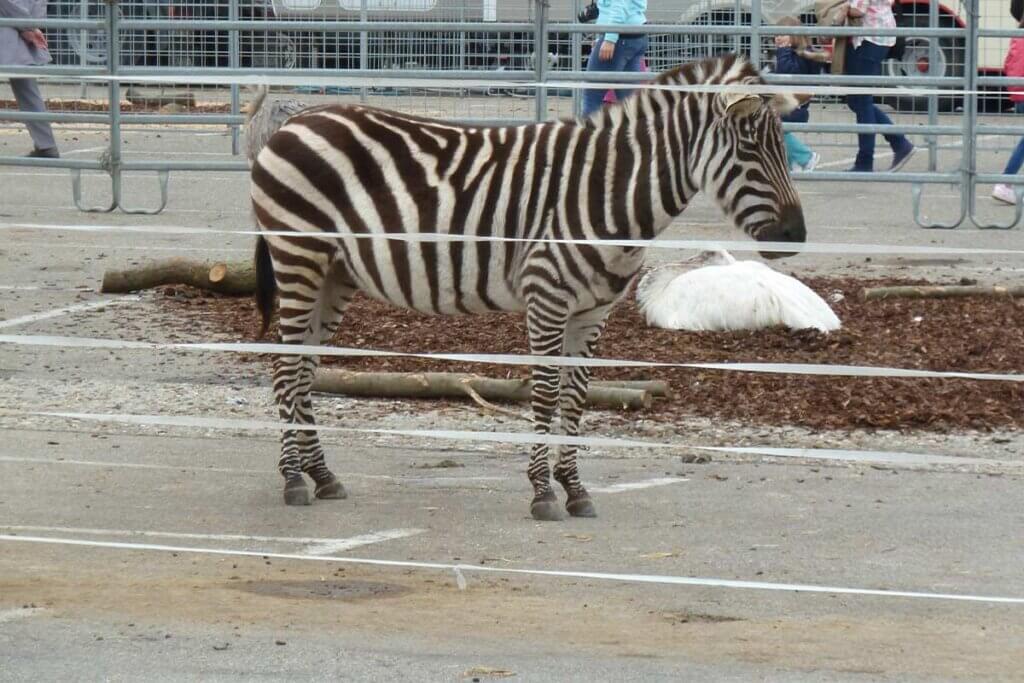 Zebras im abgesperrten Bereich bei Zirkus Charles Knie