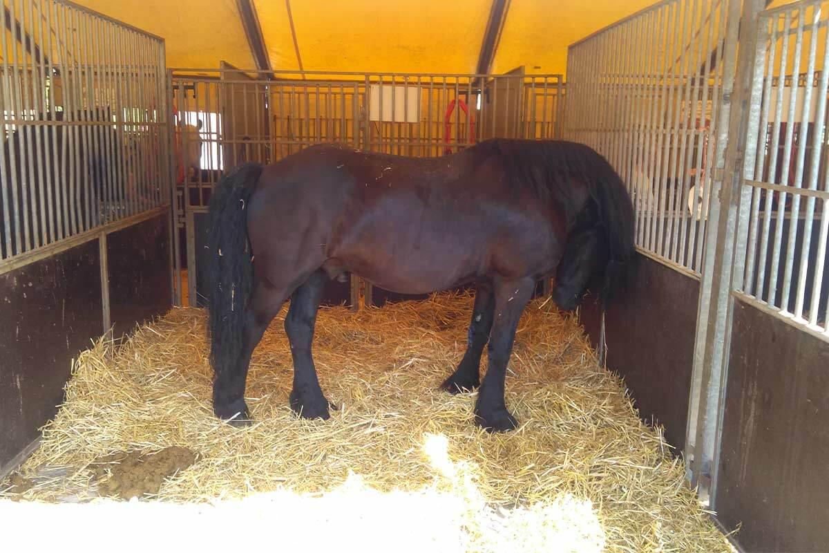 Pferd im Stall bei Zirkus Charles Knie