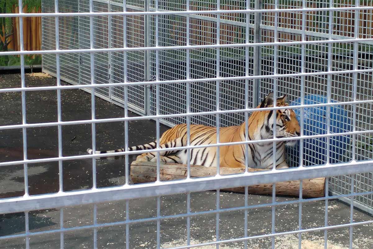 Tiger im Kaefig im Zirkus Charles Knie