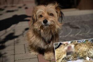 Collage Hund wird operiert