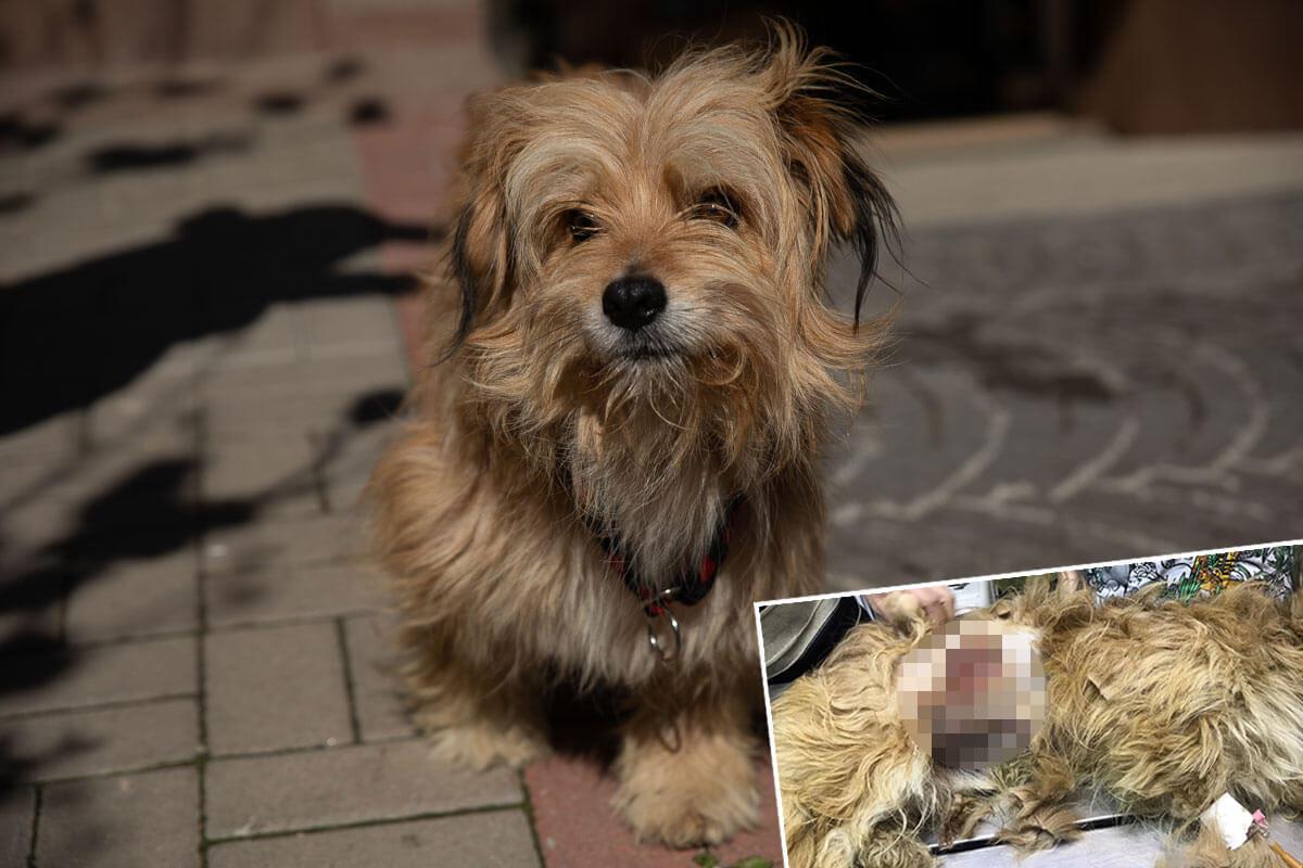 """Riesige Bauchwunde: """"Straßenhund"""" Chuck kämpft um sein Leben"""