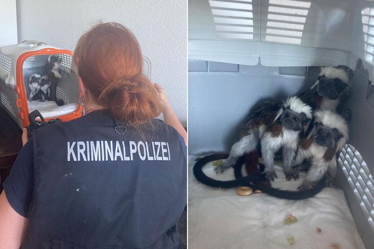PETA deckt illegalen Handel mit streng geschützten Affen auf