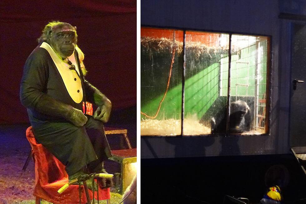 Affe Robby: So einsam lebt der Schimpanse im Circus Belly