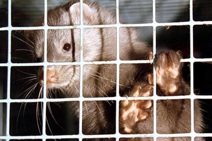 Nerz gefangen im Käfig auf einer Pelzfarm