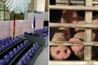 Collage Bundestag und Schweine im Transporter