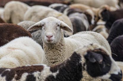 Schafsherde