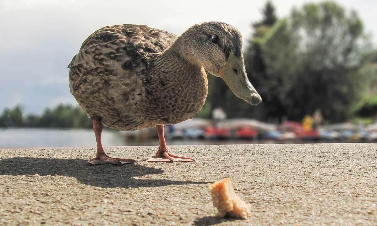 Ente mit Brot auf dem Boden