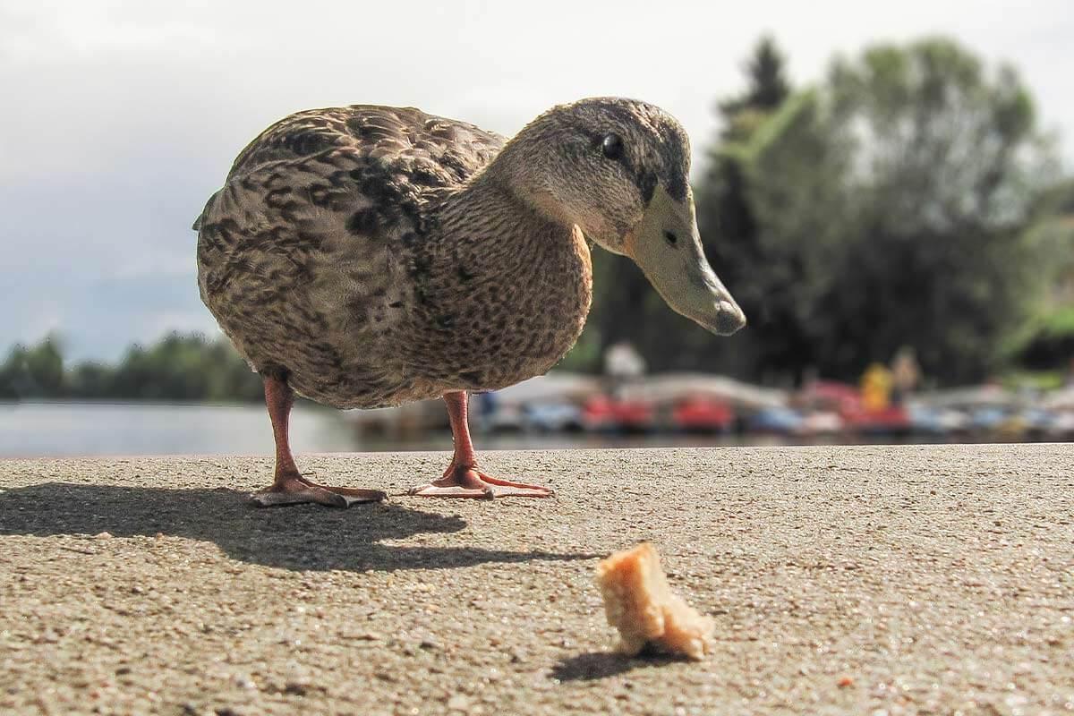 Enten füttern oder nicht? Alle Infos zu Brot & Co.