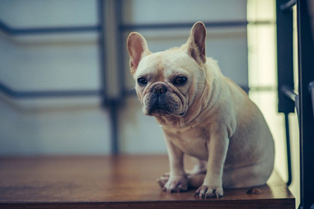 franzoesische bulldogge sitzt auf dem boden
