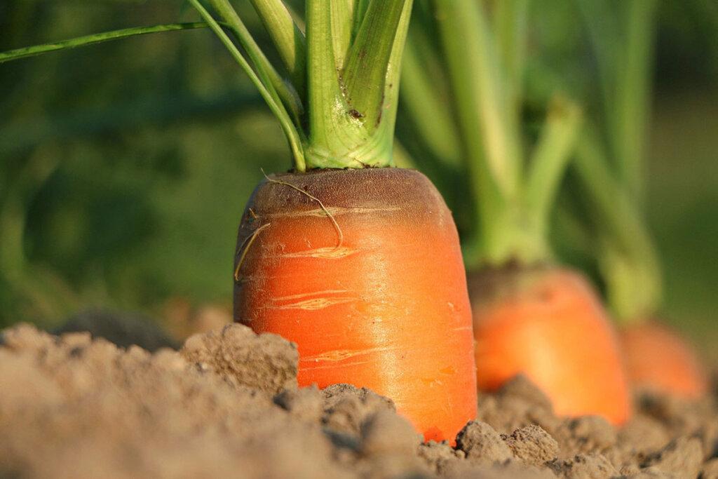 Karotten Feldanbau