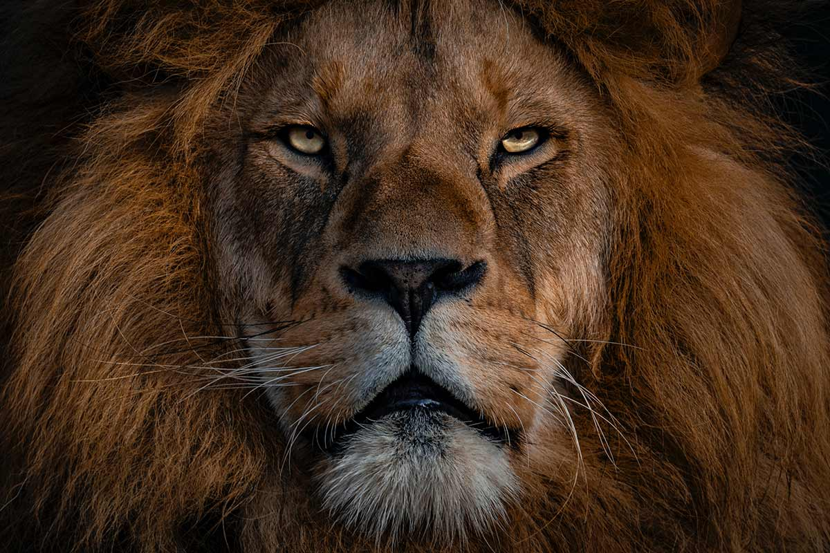 Löwen – 11 faszinierende Fakten über die bedrohten Großkatzen