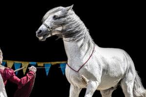 Pferd im Zirkus