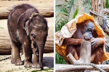 Collage Elefant und Orang Utan
